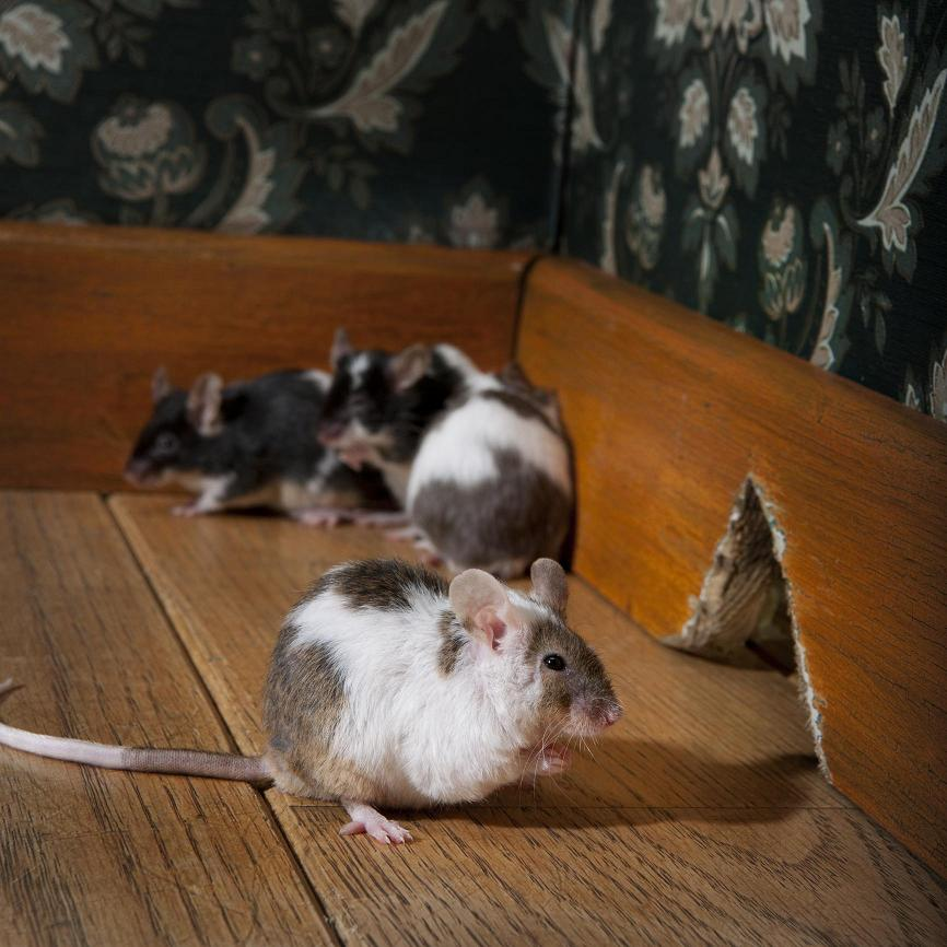 Rodent And Mouse Prevention Resource For Homeowners And