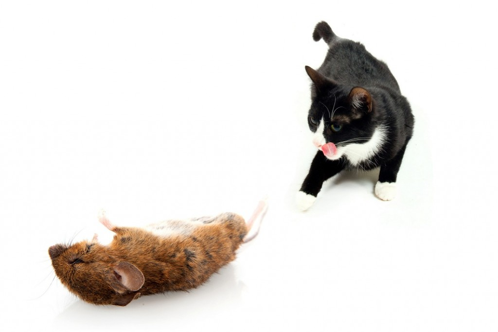 skin mites cats home treatment
